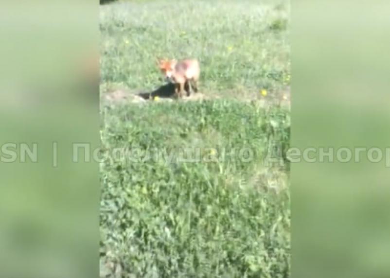 В Десногорске в будке живут две ручные лисы
