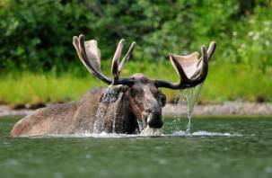 Лоси искупались в озере Ключевом в Смоленске: в Сети появилось «обалденное» видео