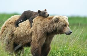 По Вязьме бегают медведи: в Сети появилось видео