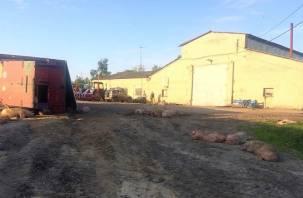 Смолянин вывалил на дорогу 200 живых свиней: в Сети появилось видео