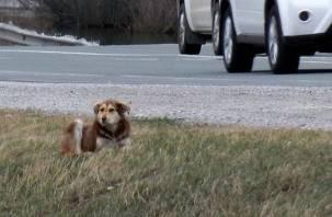 В Десногорске пятый день на дороге мучается сбитая собака