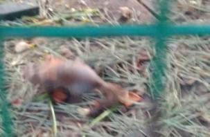 «Уже водичку попил»: бельчонка, выпавшего из гнезда в Лопатинском саду, спасли