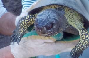 В Смоленской области зафиксировано нашествие черепах
