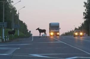 Сбил лося. В Смоленском районе водитель «Рено» травмировал свою пассажирку