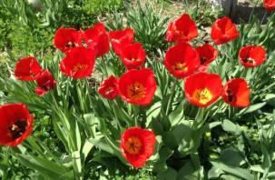 250 тысяч луковиц тюльпанов забронировал смолянин у голландских поставщиков