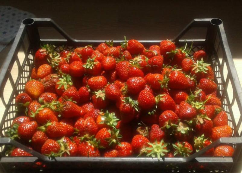 В Смоленской области уничтожат клубнику, «спрятавшуюся» за ежевикой
