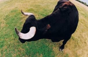 В Смоленской области бык растерзал пенсионера