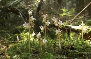 В Смоленском Поозерье обнаружена редкая орхидея