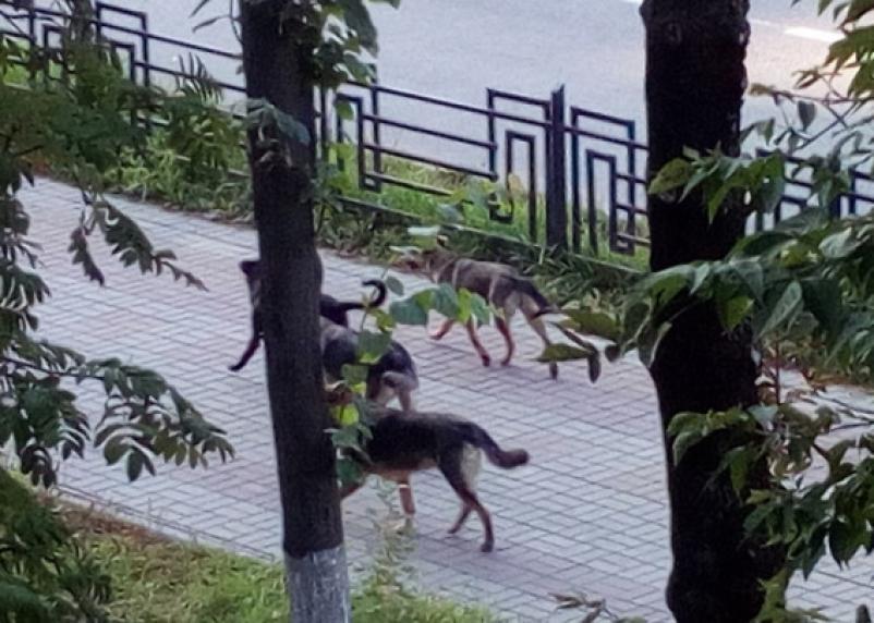 В Смоленске стая собак нападает на жителей Промышленного района
