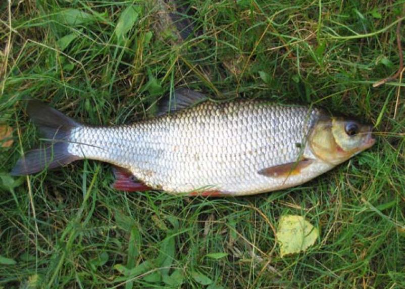 На федеральном телеканале смоленскую рыбу назвали смертельно опасной