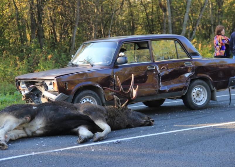 В Смоленской области «семерка» сбила лося на трассе