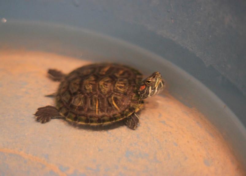 Смоляне выкинули живую черепаху на помойку