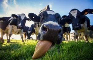 В Смоленскую область ввозили молоко от больных белорусских коров
