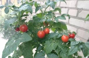 Россельхознадзор не пропустил на Смоленщину подозрительные томаты