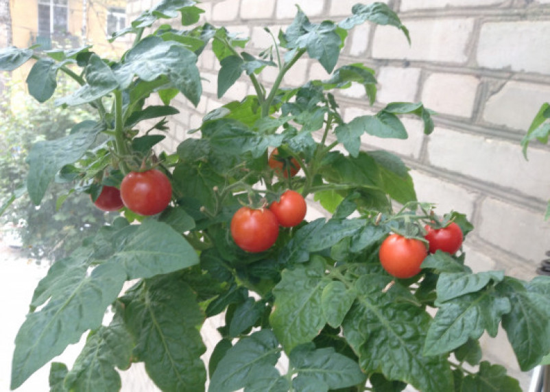 Врач посоветовал навсегда отказаться от помидоров