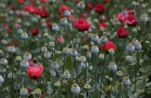 Правительство хочет выращивать опиумный мак в России