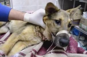 «Сгорала заживо изнутри»: в смоленский приют попала тяжелораненая собака
