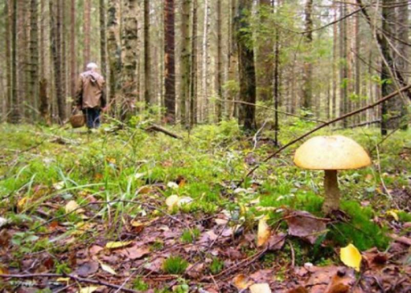 В смоленских лесах пропали два грибника