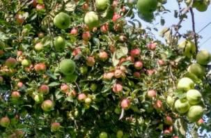 Врачи выявили новый эффект от употребления яблок