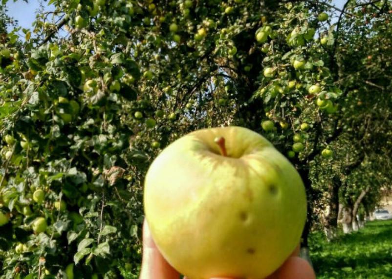 Яблочный Спас: между мифов и примет. Как выбрать яблочко ко Христову дню?