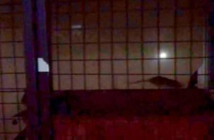 Смоляне сняли на видео огромных крыс, выползающих из пиццерии
