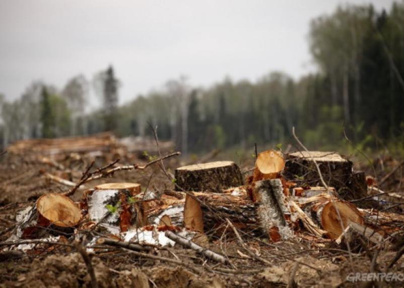 Вырубил на 2,3 млн рублей леса. Смолянину грозит 7 лет тюрьмы