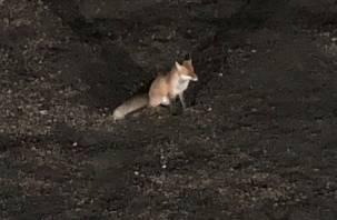 В Смоленской области «мирная» лиса стала нападать на людей