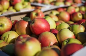 Россельхознадзор уничтожил на Смоленщине яблоки неизвестного происхождения