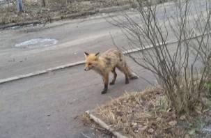 В Рославльском районе подтвердили бешенство лисицы