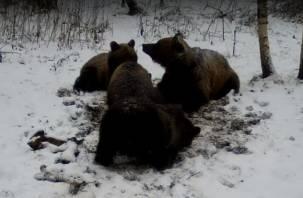 Четвёрка медведей вновь попала на видео
