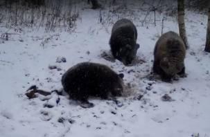 Не спится. Смолянин снял на видео четырёх гуляющих медведей