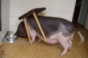 Смолянин возмущен соседством со свиньей, которую поселила дома теща
