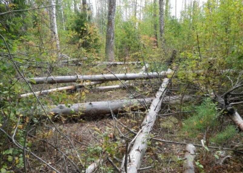 В Починковском районе неизвестные нарубили деревьев на 230 тысяч рублей