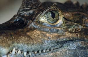Подпрыгнул на высоту трёх метров. Крокодил проглотил женщину во время кормления