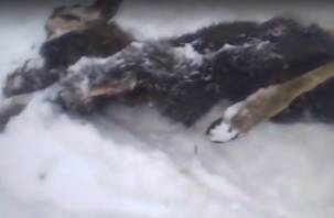 Стая волков загрызла лосёнка. Последствия кровавой драмы в Смоленском поозерье попали на видео (18+)