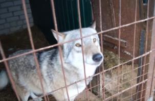 Хук серьезно заболел. Основатель приюта «Верность» просит помочь больному волку