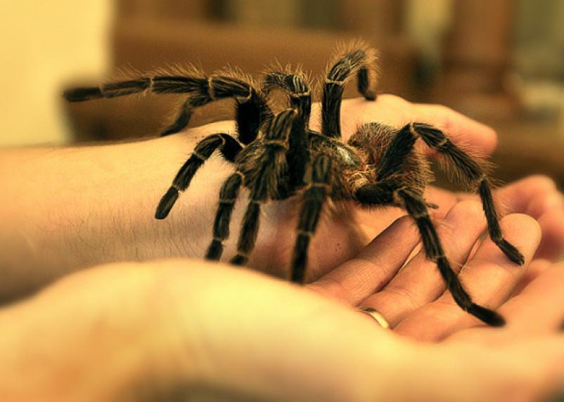Минприроды хочет запретить россиянам держать дома пауков