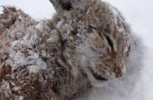 Волки лютуют. В Смоленском Поозерье найдена мертвая рысь