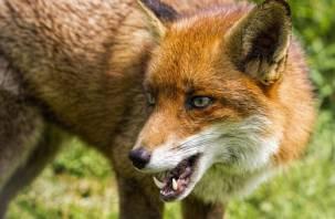 Смолян кошмарят бешеные лисы. В 8 районах области зафиксированы случаи бешенства