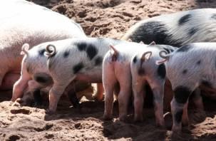 В России началась вспышка африканской чумы свиней