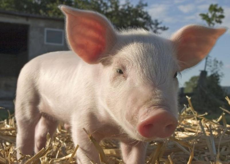 Учёные восстановили функции мозга свиньи через несколько часов после её смерти