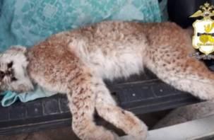 Смолянина поймали на браконьерстве на рысь
