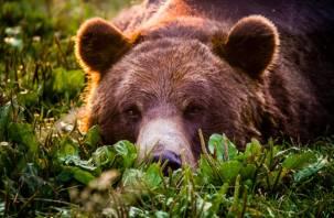 На смоленского грибника в лесу напал разъяренный медведь