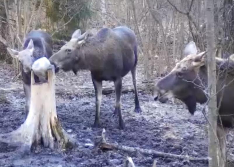 Семейство лосей за лакомством засветилось на видео