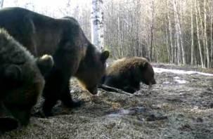 Мама с тремя медвежатами опять попала на видео. Смолянам предлагают придумать им имена