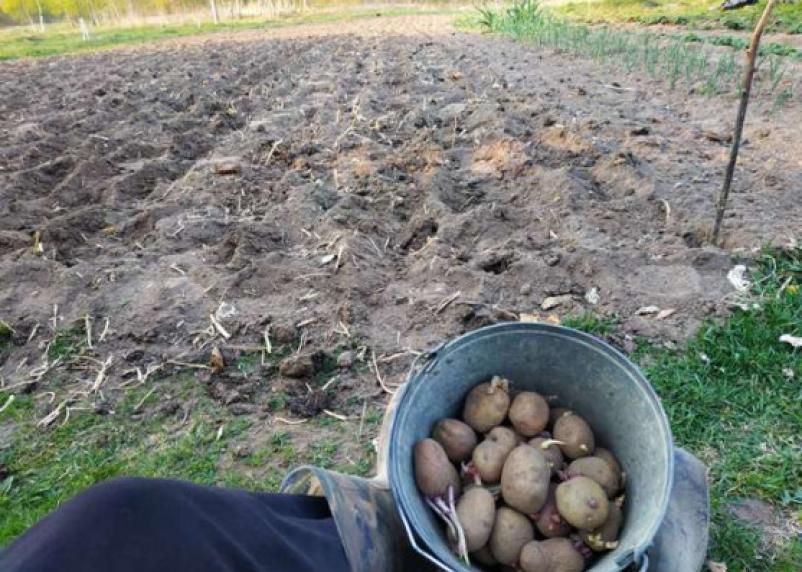 Россиянам не советуют сажать картошку на майские