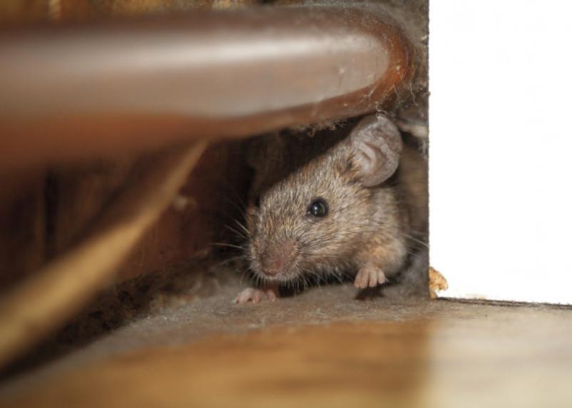 Соцсети: в Смоленске ребенка укусила мышь