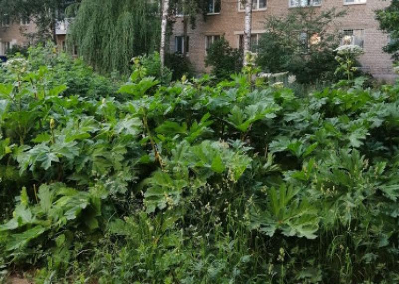 В центре Смоленска нашли борщевик высотой с человеческий рост