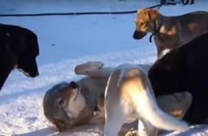 В список запрещённых к содержанию дома животных добавят волков