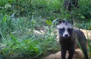 Щенков енотовидной собаки «поймала» фотоловушка Смоленского Поозерья